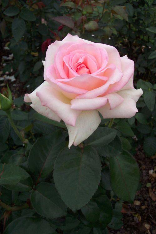 Adorable Natural Rose