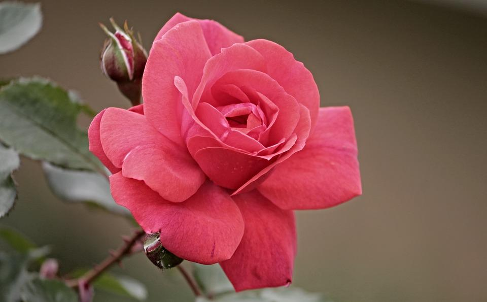 Adorable Rose