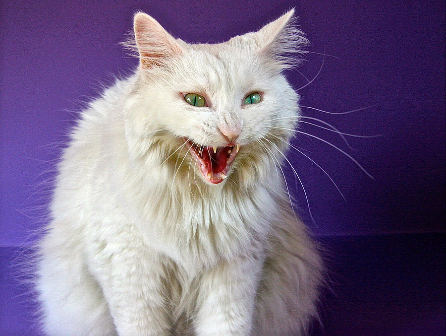 Angry White Cat