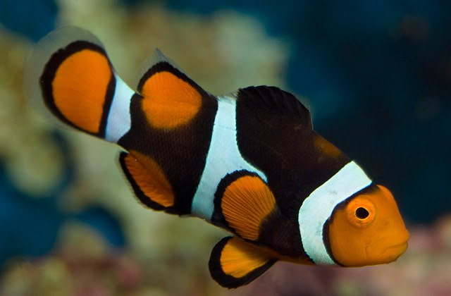 Animals Clownfish