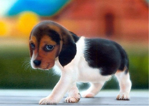 Baby Beagle Puppies