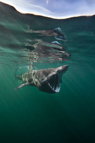 Basking Sharks Are Found