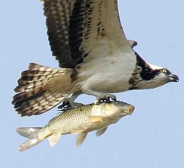 Bird With A Fish