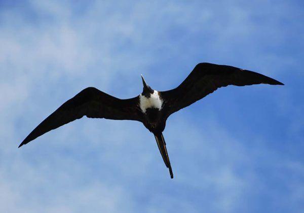 Birding Frigate Bird
