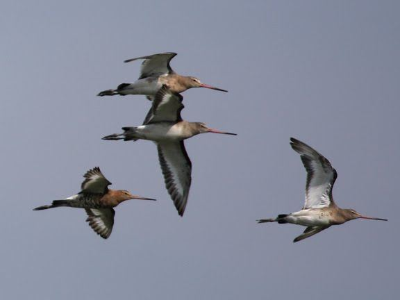 Blackwits Flight