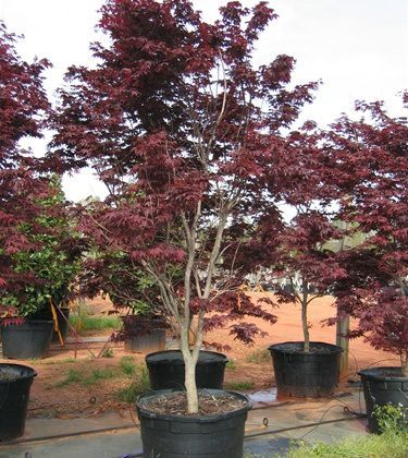 Bloodgood Japanese Maple 2