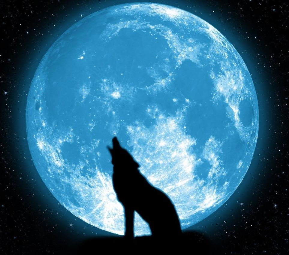 Blue Moon Wolf Capture