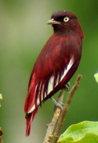 Brazilian Rainforest Pompadour