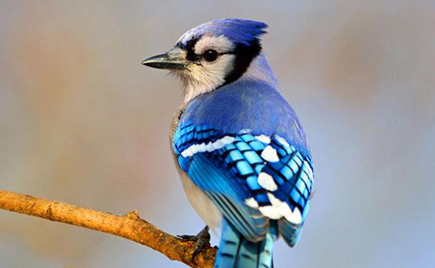Briankushner Blue