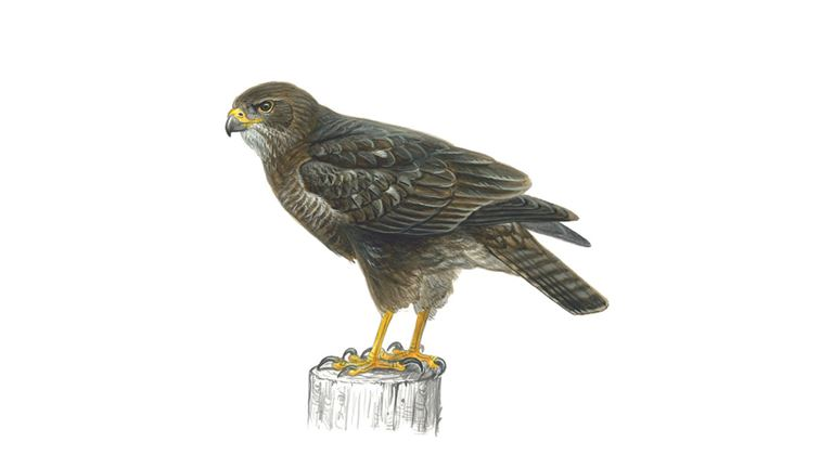 Buzzard Drawing