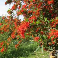 Chilean Flame Tree