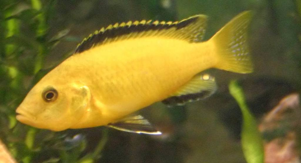 Electric Yellow Lab Cichlid