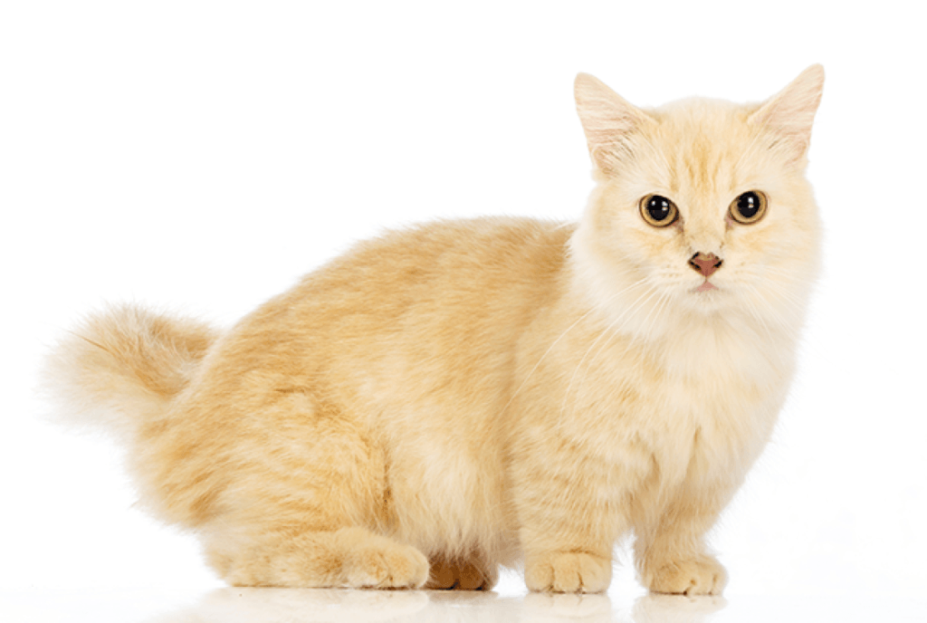 Facts About Munchkin Cats