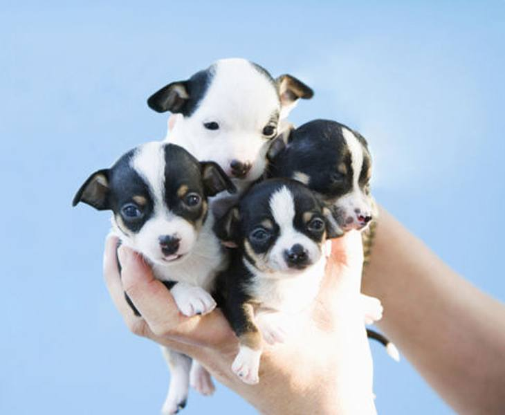Four Cute Puppy