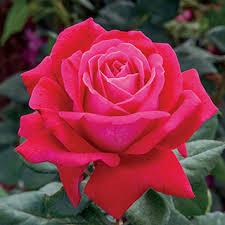 Fragrant Roses Dark Desire