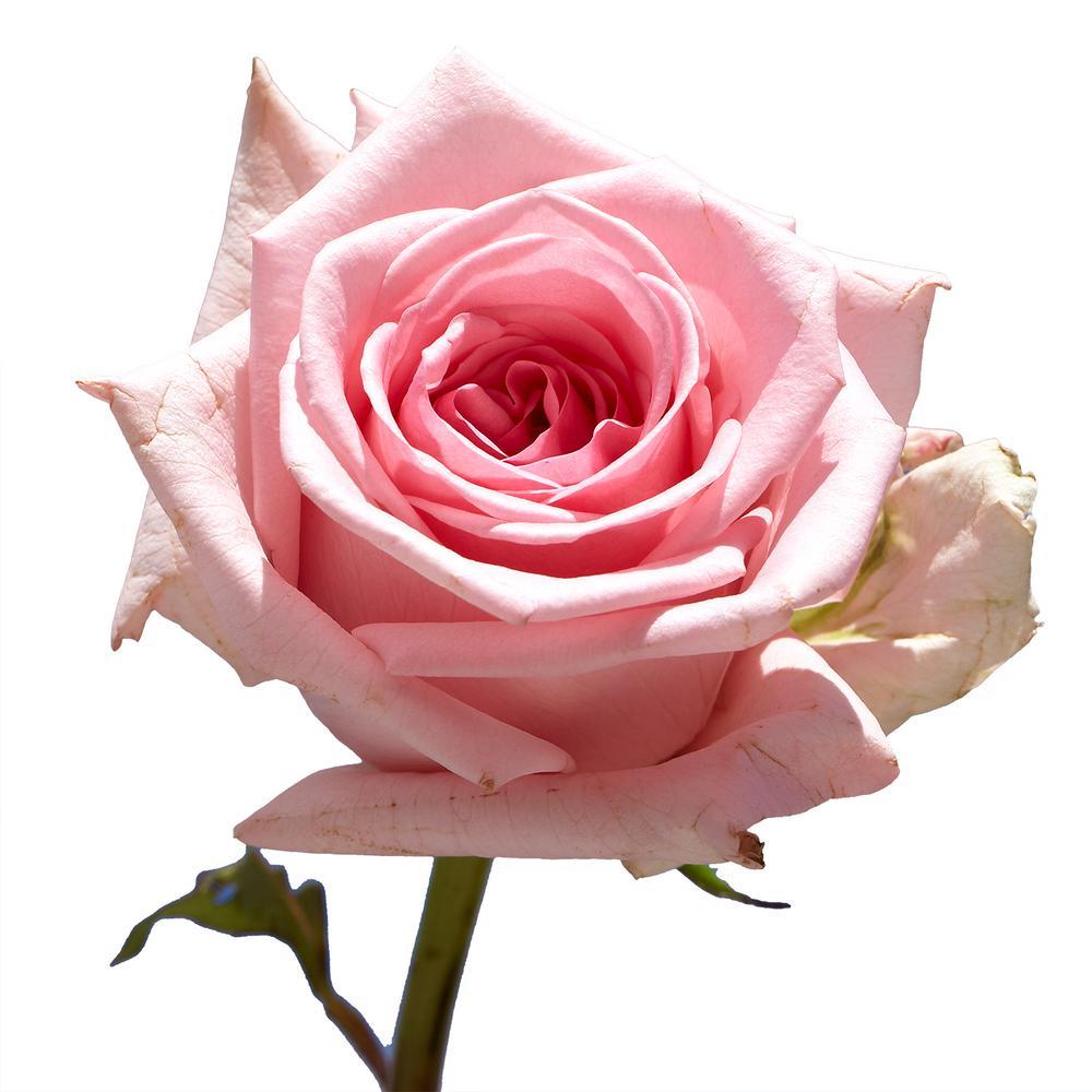 Global Pink Rose
