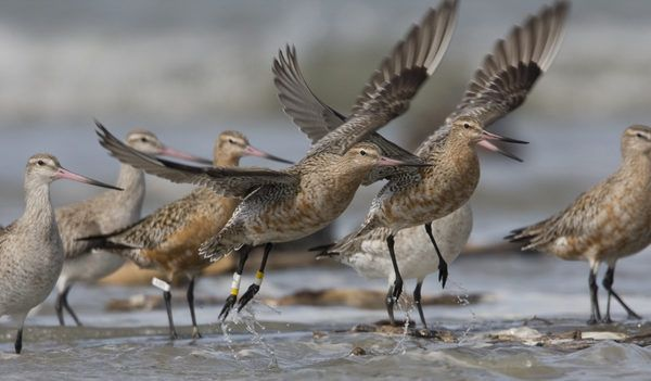 Godwits Taking Off