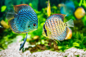 Image Of Couple Fish