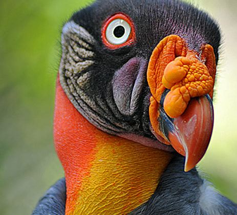 King Vulture Head Wallpaper