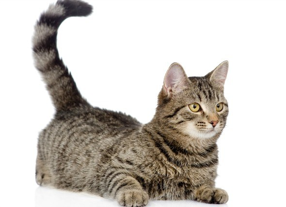 Mean When A Cat Wags Its Tall