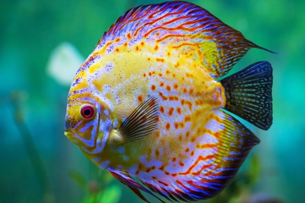 Most Colorful Fresh Water Fish