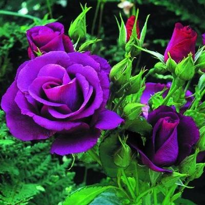 Nursery Live Rose Purple