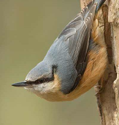 Nuthatch Bird