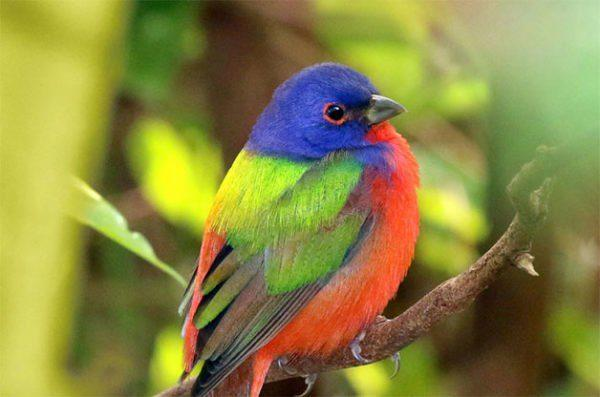 Painted Bunting Gilberto Sanchez