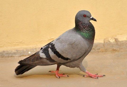Pigeon Birds Macro