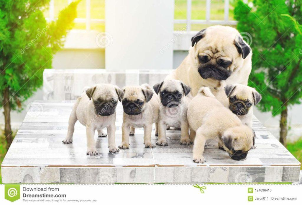 Pug Mother And Puppies Playing With Their Marble Table