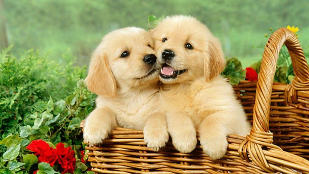 Puppies In The Basket