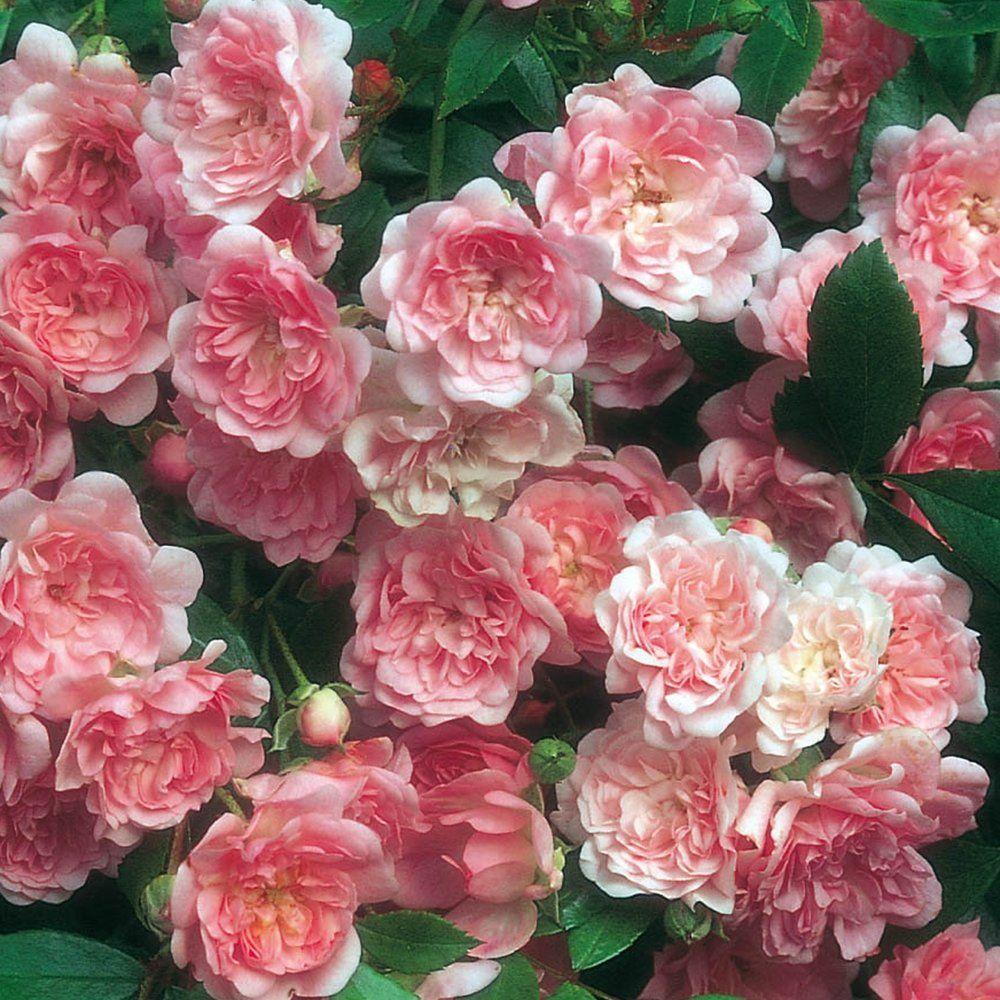 Raft Island Roses