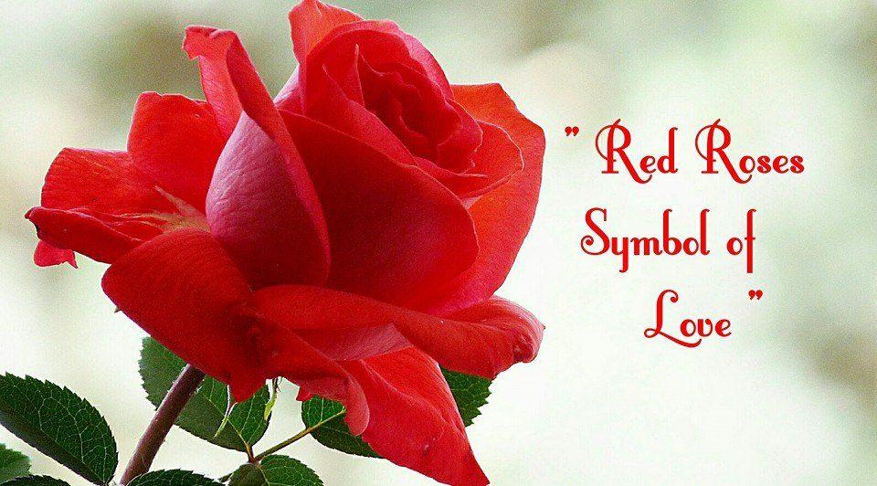 Red Roses Symbol Of Love