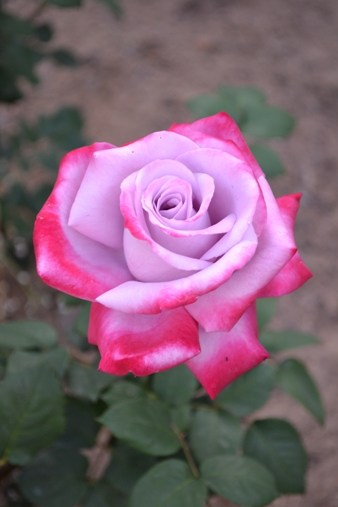 Rose Burning Sky
