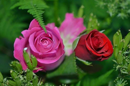 Rose Bush Clip Art