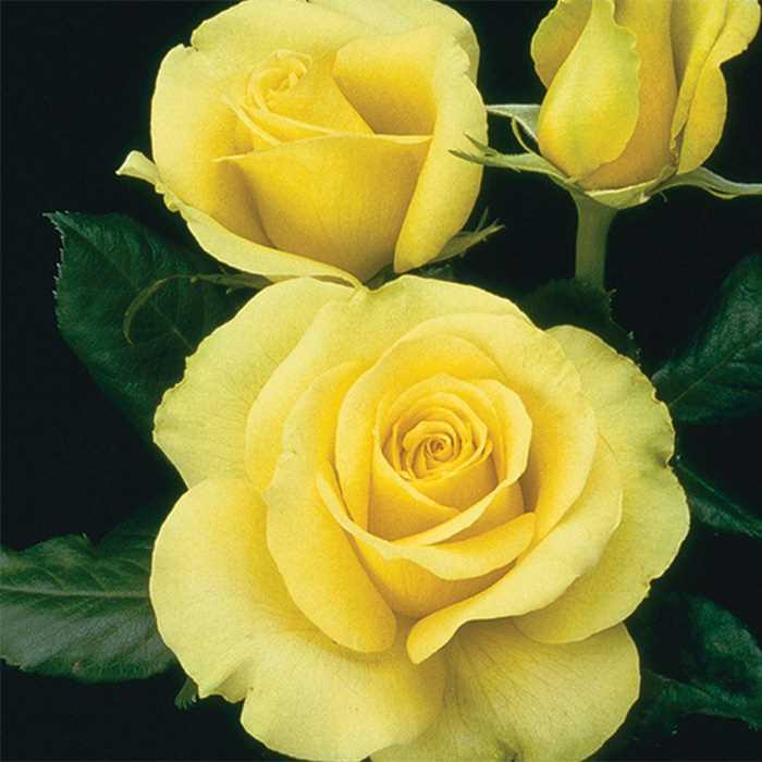 Saint Patrick Hybrid Tea Roses