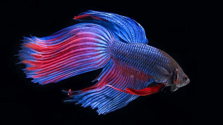 Siamese Fightingfish Markmawson