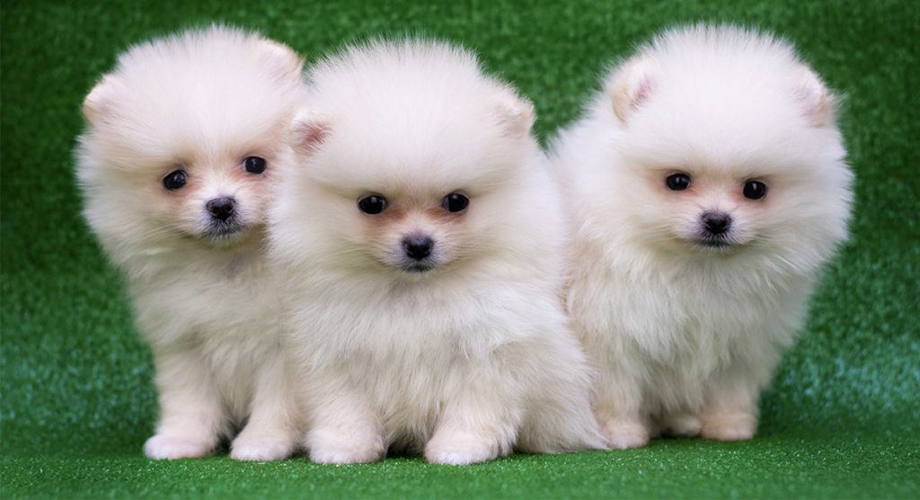 Three White Puppy