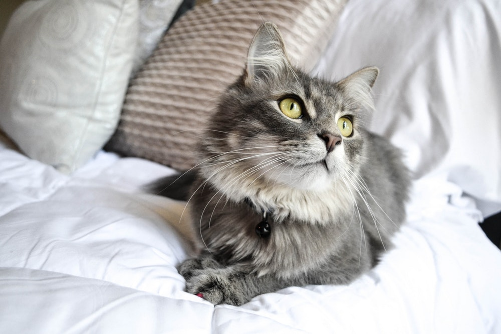 Want To Buy Before Adopting A Cat