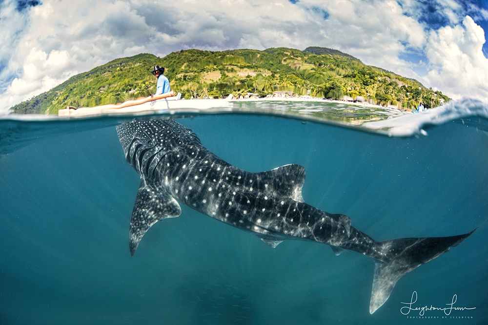 Whale Shark Over Under