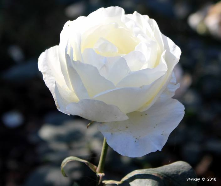 Why People Are Wearing White Rose