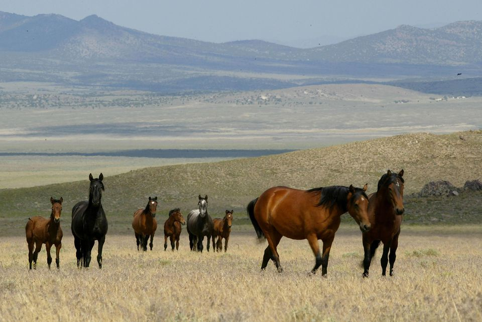 Wild Horses Facing Slaughter