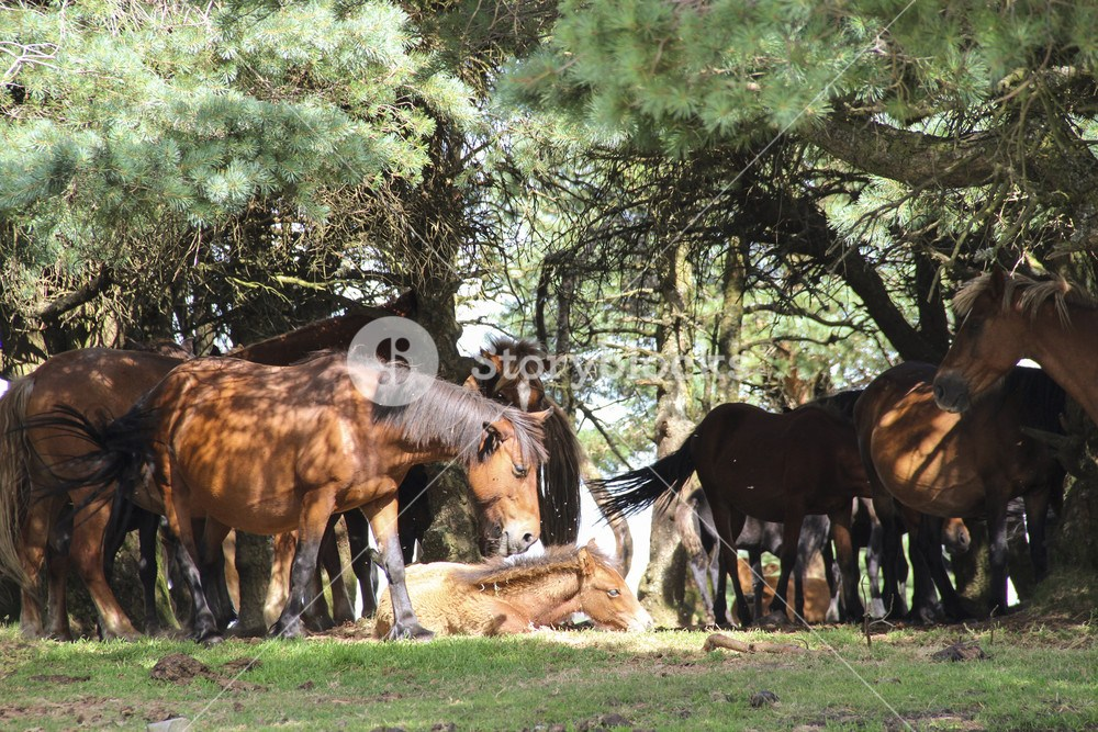 Wild Horses Relaxing Under Pine Trees